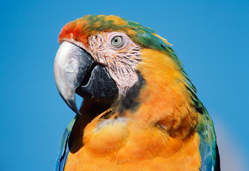 BRD 01 GR0004 01 © Kimball Stock Head Shot Of Catalina Macaw