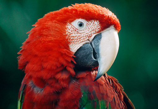 BRD 01 GR0005 01 © Kimball Stock Head Shot Of Green-Winged Macaw