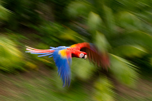 BRD 01 KH0001 01 © Kimball Stock Scarlet Macaw Flying In Jungle