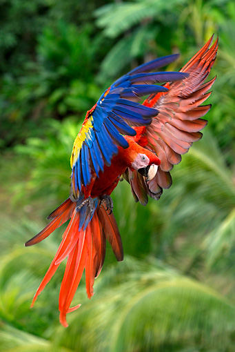 BRD 01 KH0002 01 © Kimball Stock Scarlet Macaw Flying In Jungle