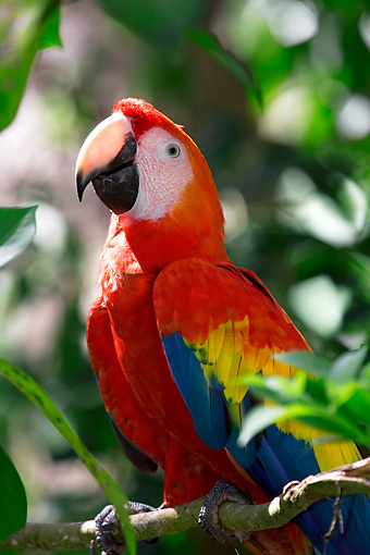BRD 01 KH0004 01 © Kimball Stock Scarlet Macaw Perching On Branch
