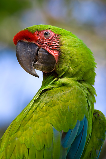 BRD 01 KH0006 01 © Kimball Stock Close-Up Of Military Macaw