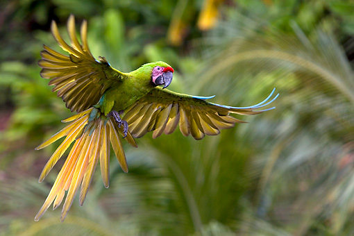 BRD 01 KH0007 01 © Kimball Stock Military Macaw Flying In Jungle