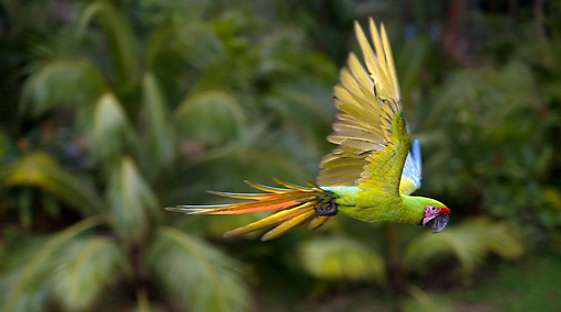 BRD 01 KH0008 01 © Kimball Stock Military Macaw Flying In Jungle
