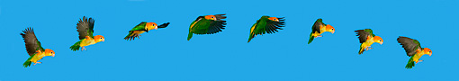 BRD 01 KH0013 01 © Kimball Stock Motion Sequence Of White-Bellied Parrot Flying