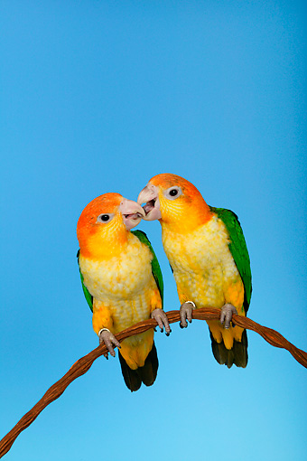 BRD 01 KH0015 01 © Kimball Stock Two White-Bellied Parrots Perching On Branch Kissing
