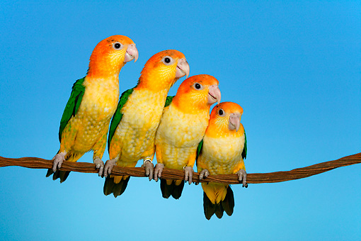 BRD 01 KH0016 01 © Kimball Stock Four White-Bellied Parrots Perching On Branch