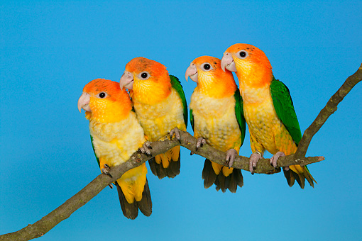 BRD 01 KH0017 01 © Kimball Stock Four White-Bellied Parrots Perching On Branch