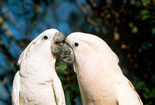 BRD 01 LS0001 01 © Kimball Stock Two White Moluccan Cockatoos Nuzzling Tree Background