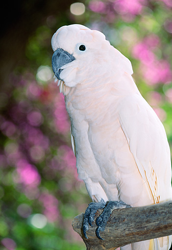 BRD 01 LS0002 01 © Kimball Stock Portrait Of White Moluccan Cockatoo Perching