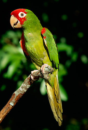 BRD 01 LS0005 01 © Kimball Stock Portrait Of Red-Masked Parakeet Perching On Branch
