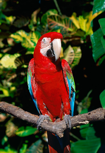 BRD 01 LS0006 01 © Kimball Stock Green-Winged Macaw Perching On Branch