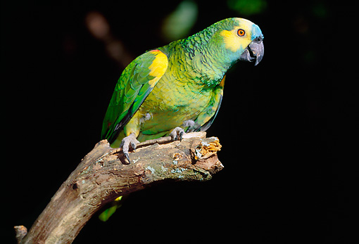 BRD 01 LS0007 01 © Kimball Stock Blue-Fronted Amazon Parrot Perching On Branch