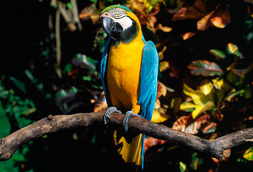 BRD 01 LS0011 01 © Kimball Stock Blue And Gold Macaw Perching On Branch