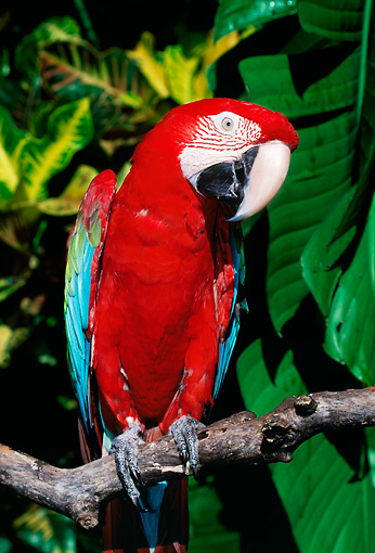 BRD 01 LS0012 01 © Kimball Stock Green-Winged Macaw Perching On Branch