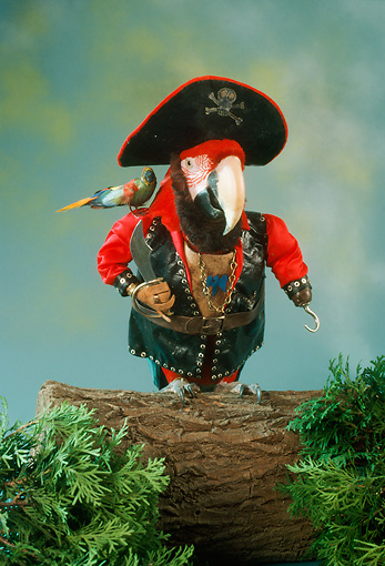 BRD 01 RC0002 01 © Kimball Stock Humorous Red Macaw Pirate Standing On Log Studio