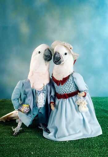 BRD 01 RC0003 01 © Kimball Stock Humorous Cockatoo Couple Wearing Blue Suit And Dress Studio