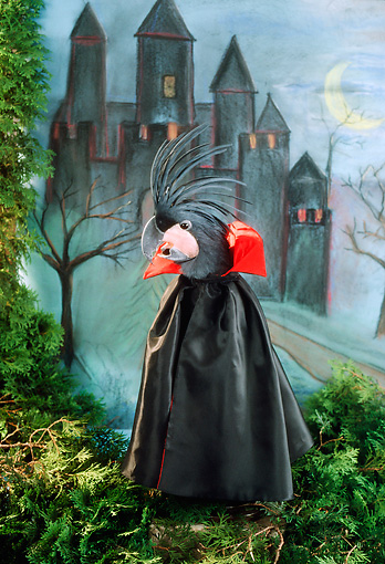 BRD 01 RC0010 01 © Kimball Stock Humorous Dracula Parrot Standing Before Castle Studio