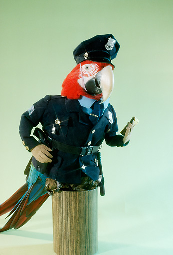 BRD 01 RC0012 01 © Kimball Stock Humorous Policeman Red Macaw Standing On Post With Ticket Book Studio