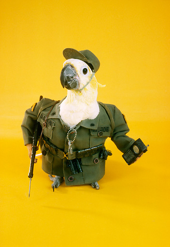 BRD 01 RC0015 01 © Kimball Stock Humorous Army Cockatoo Holding Walkie-Talkie Studio Yellow Background