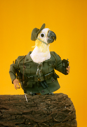 BRD 01 RC0016 01 © Kimball Stock Humorous Army Cockatoo Holding Walkie-Talkie Studio Yellow Background