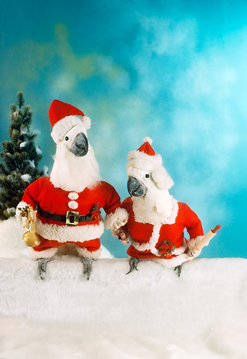 BRD 01 RC0020 01 © Kimball Stock Humorous Cockatoo Santa And Mrs. Claus Sitting On Snow Studio