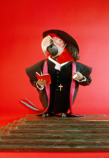 BRD 01 RC0021 01 © Kimball Stock Humorous Priest Macaw Standing On Steps Studio Red Background