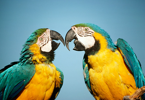 BRD 01 RC0024 01 © Kimball Stock Close-Up Of Two Blue-And-Yellow Macaws Singing Studio