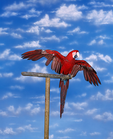 BRD 01 RK0001 05 © Kimball Stock Green-Winged Macaw Sitting On Bird Stand
