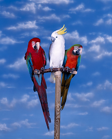 BRD 01 RK0004 03 © Kimball Stock Two Macaws And Cockatoo Perching On Bird Stand