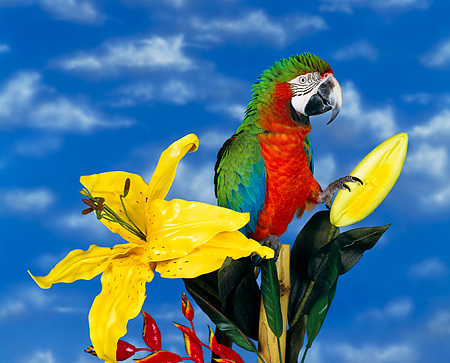 BRD 01 RK0011 02 © Kimball Stock Harlequin Macaw Sitting By Yellow Flowers