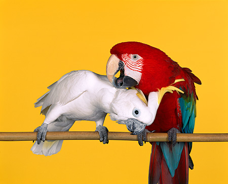 BRD 01 RK0024 02 © Kimball Stock Green-Winged Macaw Scratching Triton Cockatoo On Bird Stand Yellow Seamless
