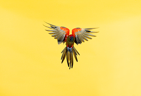 BRD 01 RK0025 17 © Kimball Stock Red-Fronted Macaw In Flight Yellow Seamless