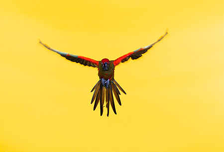 BRD 01 RK0025 28 © Kimball Stock Red-Fronted Macaw In Flight Yellow Seamless