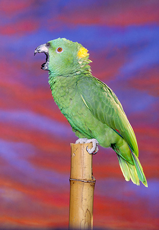 BRD 01 RK0028 09 © Kimball Stock Yellow Nape Amazon Bird On Stand