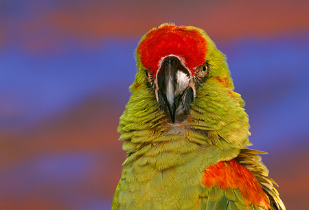 BRD 01 RK0037 01 © Kimball Stock Head Shot Of Red Fronted Macaw