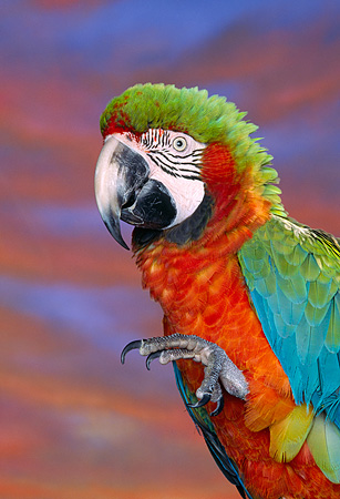 BRD 01 RK0042 04 © Kimball Stock Close Up Of Harlequin Macaw On Stand
