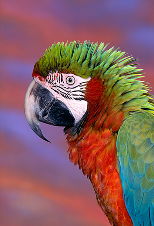 BRD 01 RK0045 07 © Kimball Stock Head Shot Of Harlequin Macaw