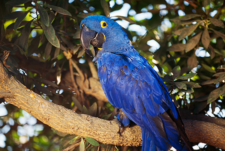 BRD 01 RK0048 01 © Kimball Stock Blue Hyacinth Macaw Sitting In Tree Branch With Leaves Facing Camera