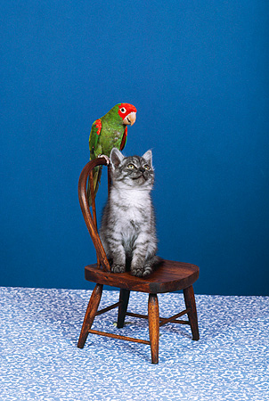 BRD 01 RK0066 03 © Kimball Stock Red Front Macaw And Gray Kitten Sitting On Chair