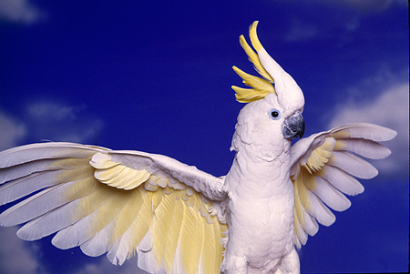 BRD 01 RK0073 04 © Kimball Stock Yellow And White Cockatoo
