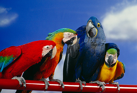 BRD 01 RK0074 32 © Kimball Stock A Flock Of Colorful Macaws On Red Pole Blue Sky
