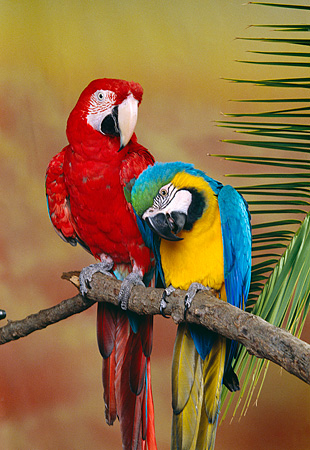 BRD 01 RK0077 20 © Kimball Stock Two Macaws Sitting On Branch Studio