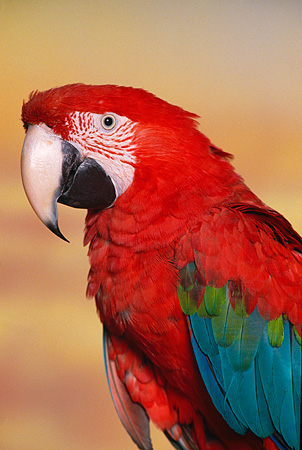 BRD 01 RK0101 02 © Kimball Stock Close Up Of Green-Winged Macaw