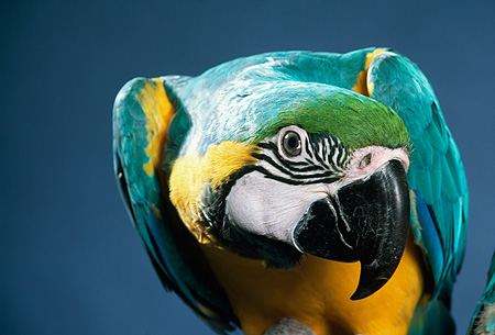 BRD 01 RK0123 05 © Kimball Stock Head Shot Of Multi Color Macaw Blue Background