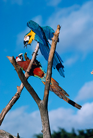 BRD 01 RK0150 02 © Kimball Stock Two Multi Colored Macaws Sitting On Branch Playing