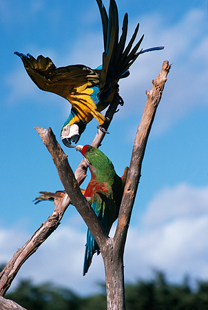 BRD 01 RK0150 05 © Kimball Stock Two Multi Colored Macaws Sitting On Branch Playing