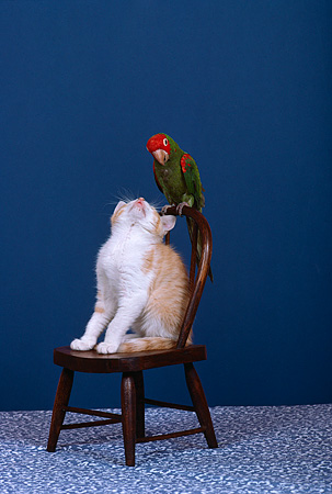 BRD 01 RK0179 03 © Kimball Stock Red And Green Parrot Sitting On Chair With Orange And White Kitten