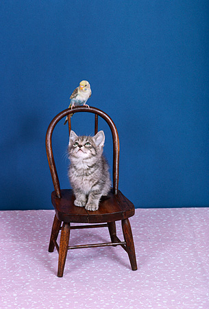 BRD 01 RK0183 06 © Kimball Stock Blue And White Parakeet Sitting On Chair With Gray Kitten