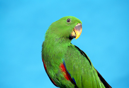 BRD 01 TK0001 01 © Kimball Stock Close-Up Of Eclectus Parrot Blue Background Studio